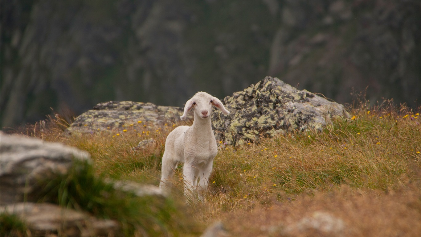 Cute lamb, sheep, grass, mountains wallpaper 1366x768