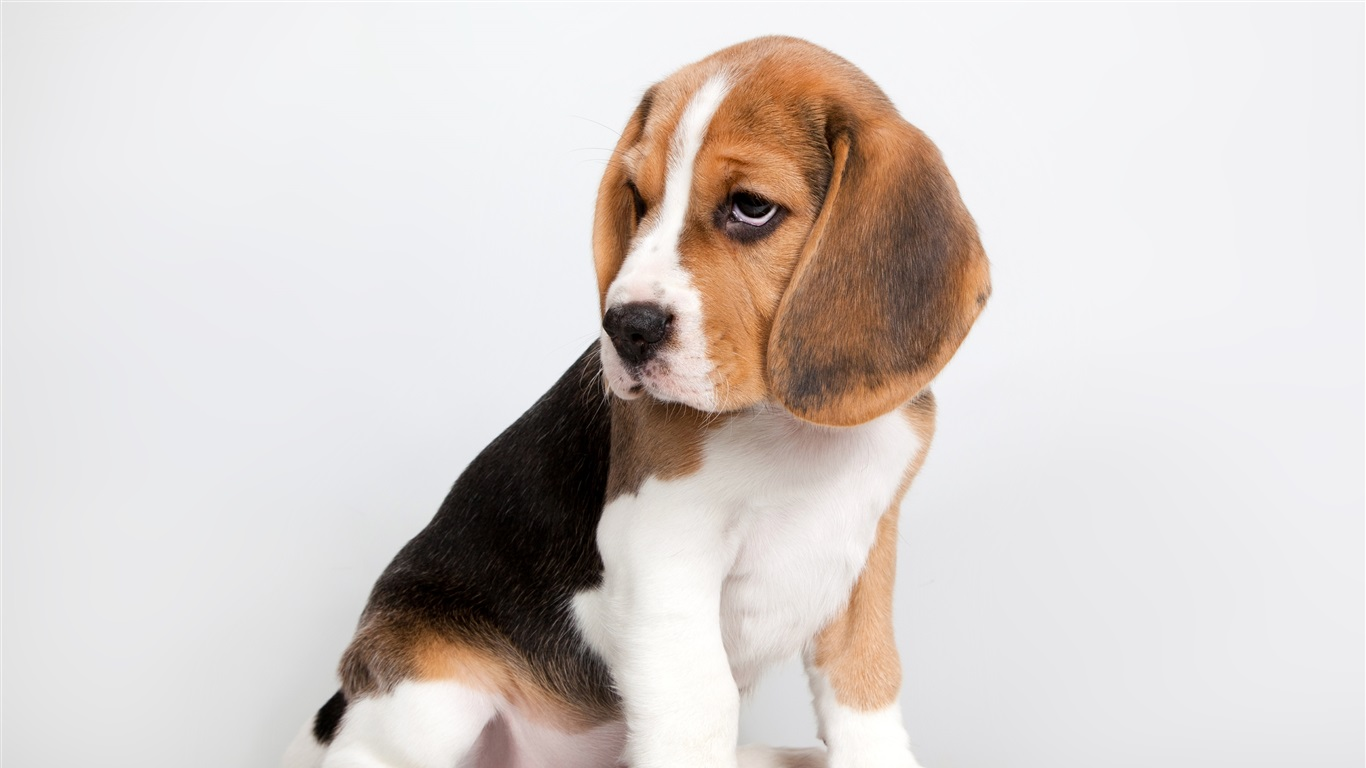 Cute puppy, beagle sit down Wallpaper   1366x768 ...