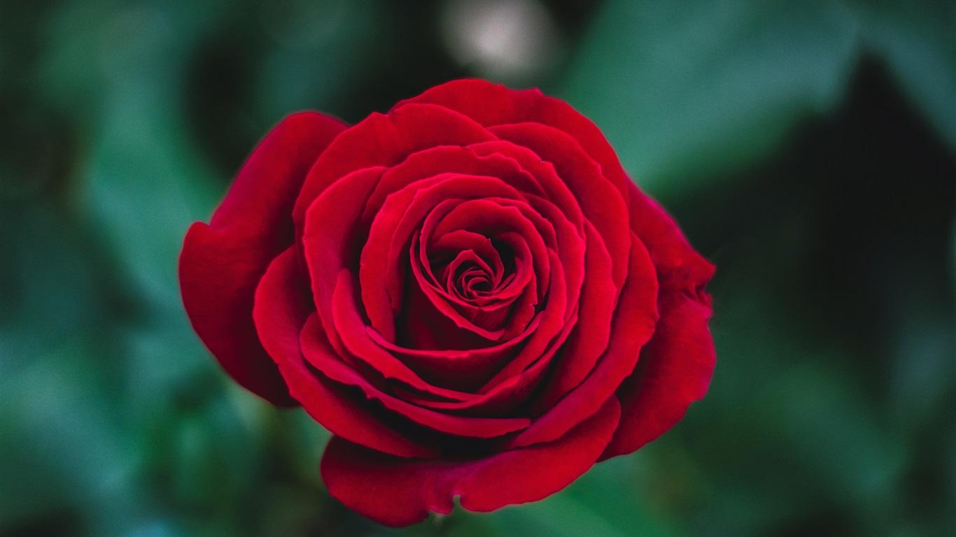 Red rose close up petals bokeh wallpaper 1366x768 - Red rose petals wallpaper ...