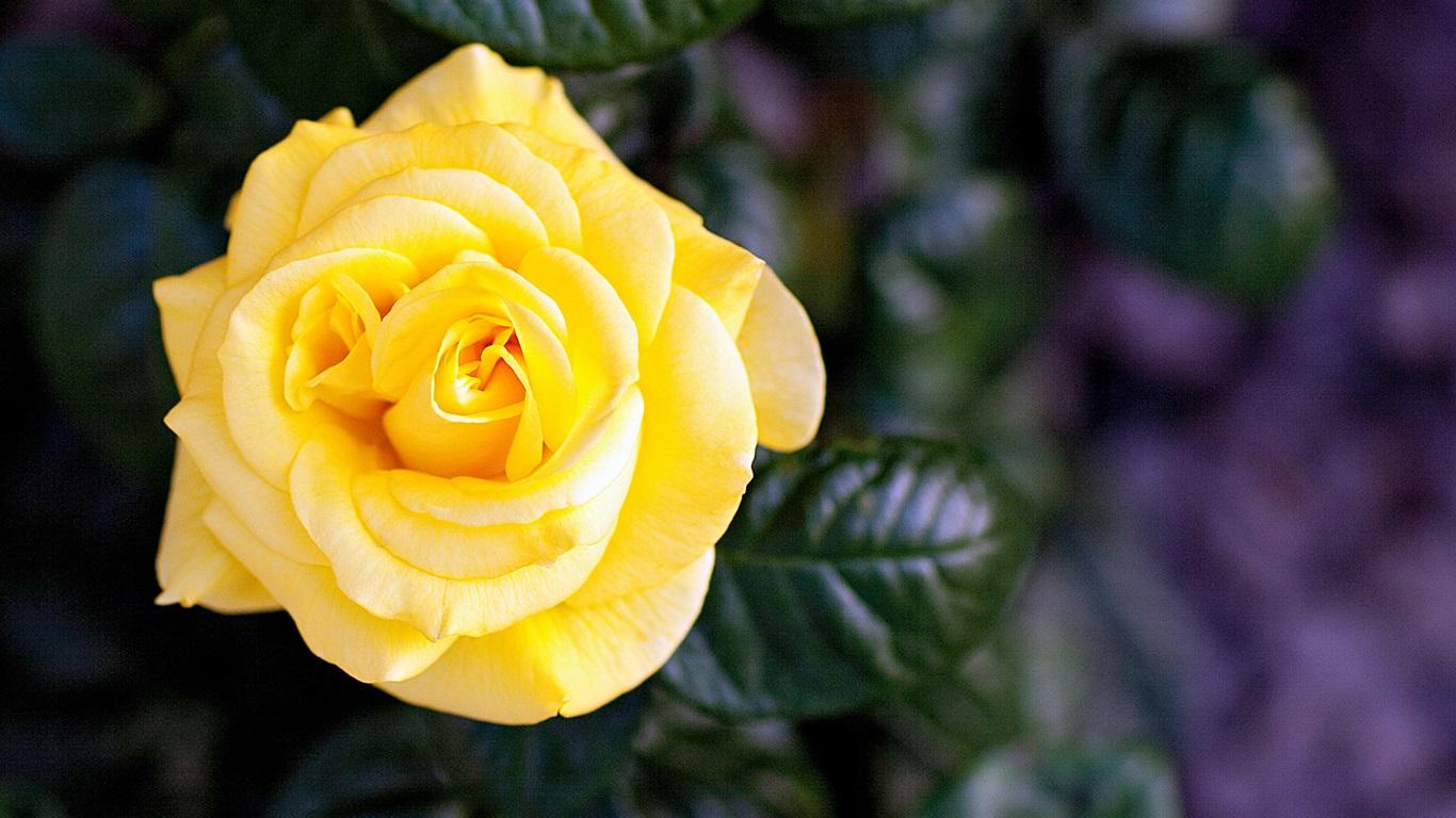 Fondos De Pantalla Flores Rosadas Crisantemo Fondo: Fondos De Pantalla Rosa Amarilla, Sola Flor 1920x1200 HD