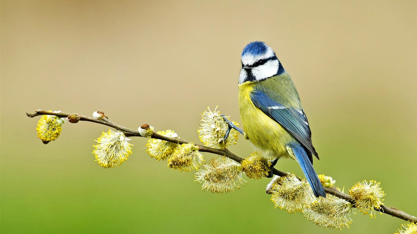 蓝山雀,形式,春天640x1136iphone5/5s/5c/se树枝大雁塔是什么壁纸图片