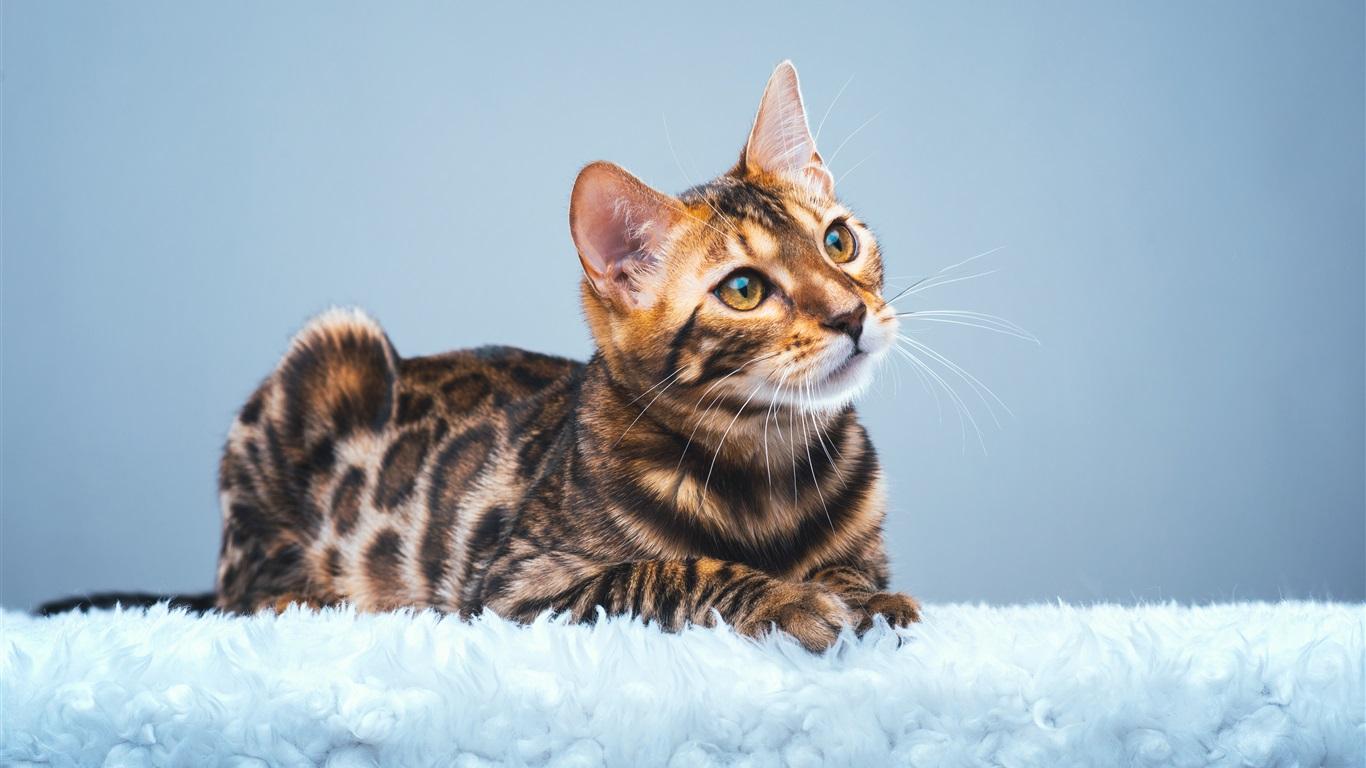 壁紙 かわいいベンガルの猫を見上げる 3840x2160 Uhd 4k 無料のデスクトップの背景 画像