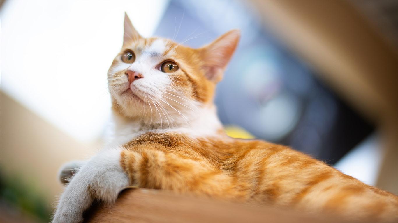 壁紙 かわいい猫 残り 見て ペット 19x10 Hd 無料のデスクトップの背景 画像