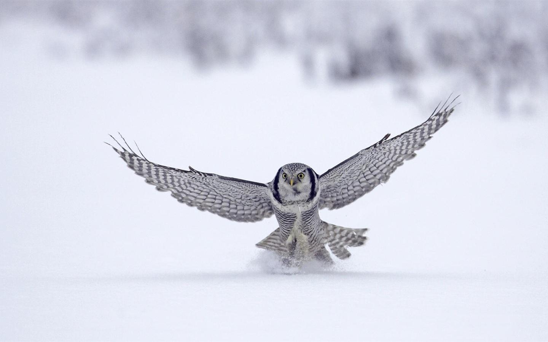 フクロウの画像 p1_2