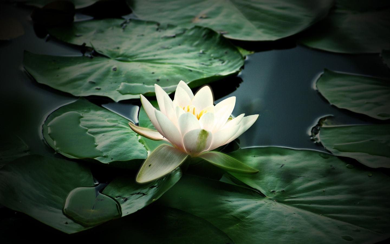 Nature Flower Wallpaper Download ... | 1440x900 Hinterg...