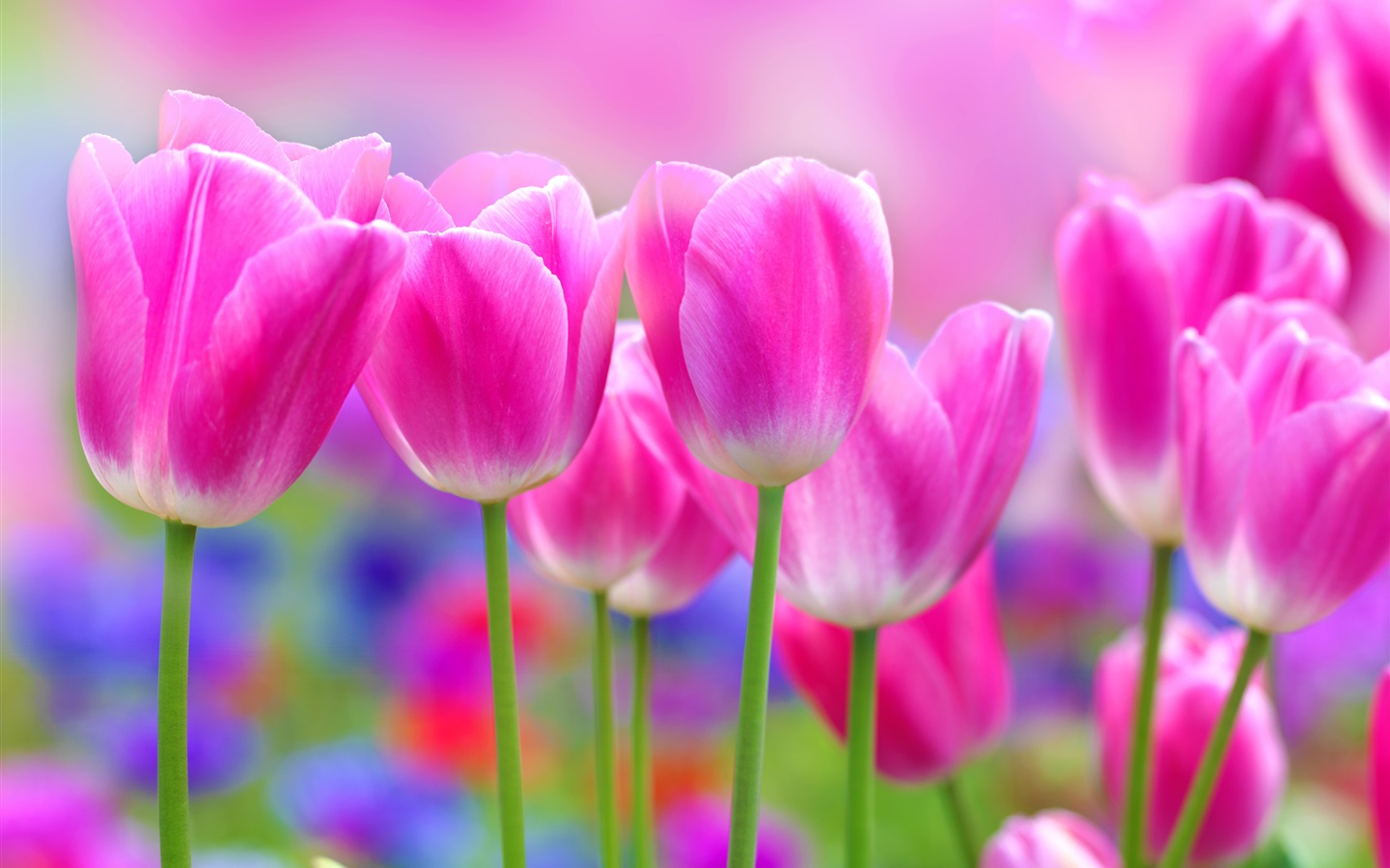 https://ru.best-wallpaper.net/wallpaper/1440x900/1403/Beautiful-pink-tulips-flowers-blur-background_1440x900.jpg