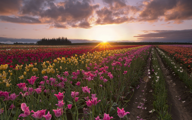tulip flowers fields sun rays morning dawn Wallpaper - 1440x900 HD Wide Wallpaper for Widescreen