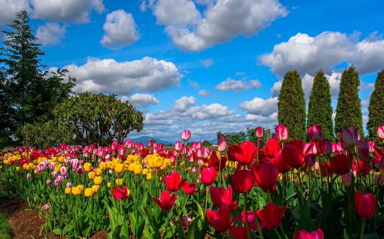 Spring Flowers Tulips Field Sunrise Grass Clouds: Fondos De Pantalla Muchas Flores, Tulipanes, Campo