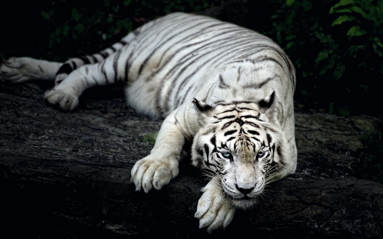 White-tiger-rest_1440x900.jpg