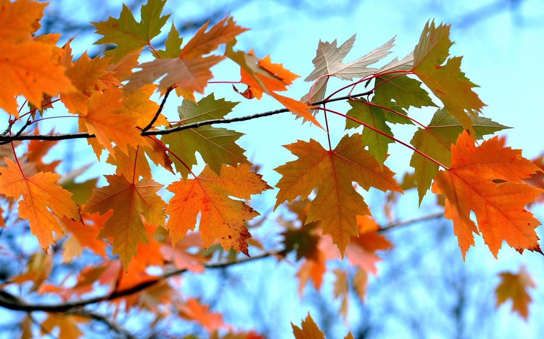 осень картинки кленовые листья картинки монтаже тонкой, гибкой