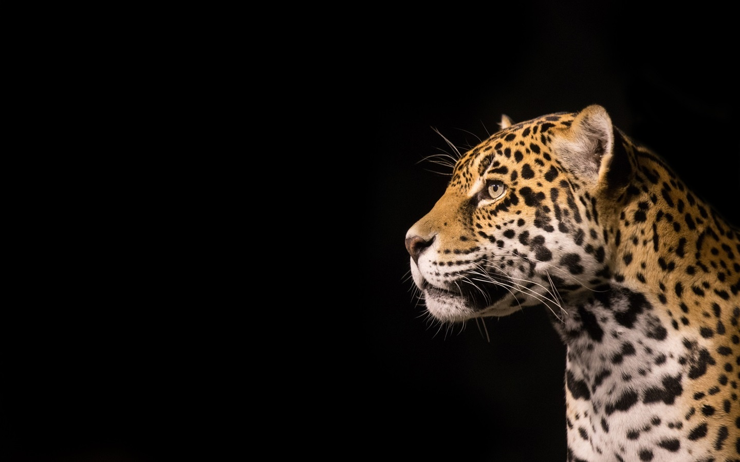 Fondos de pantalla predator jaguar fondo negro 1920x1200 - Jaguar animal hd wallpapers ...