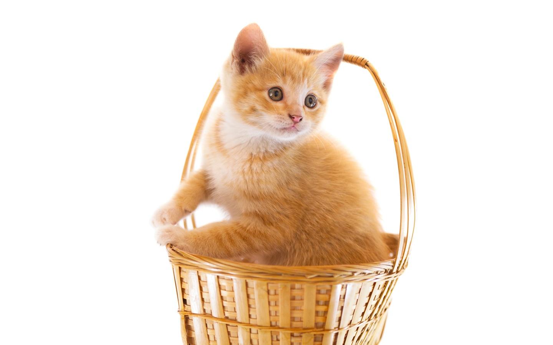 Cute kitten in basket, white background Wallpaper ...
