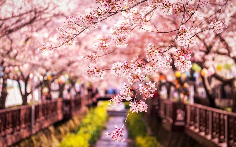 Wallpaper Sakura bloom, spring, Japan 1920x1200 HD Picture ...