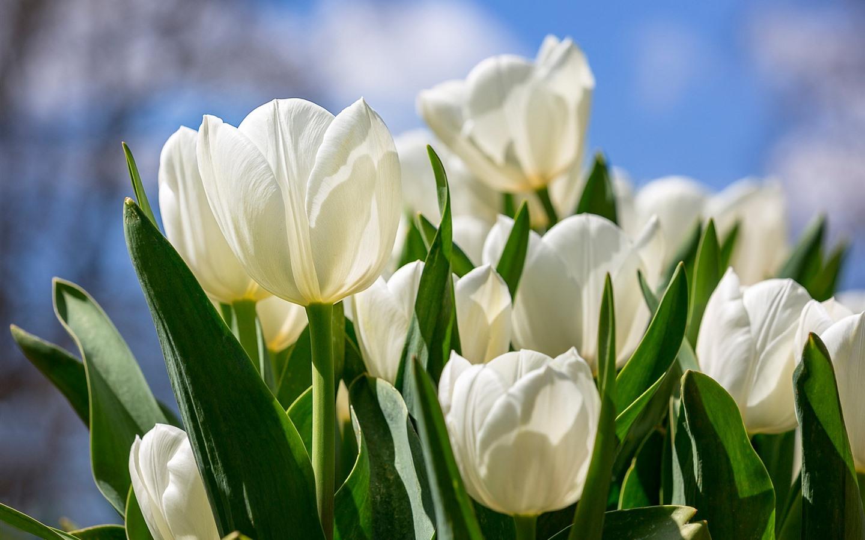 Fondos De Pantalla 1440x900 Tulipas Pascua Fondo De Color: Fondos De Pantalla Tulipanes Blancos, Brillantes