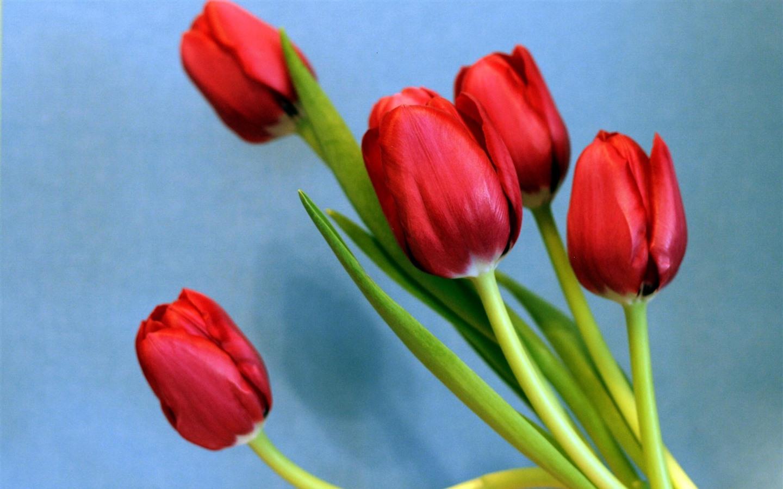 Fondos De Pantalla Flores Rosadas Crisantemo Fondo: Fondos De Pantalla Tulipanes Rojos, Fondo Azul 2560x1600