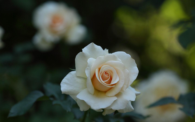 Weiße Rose Blütenblätter Verschwommener Hintergrund