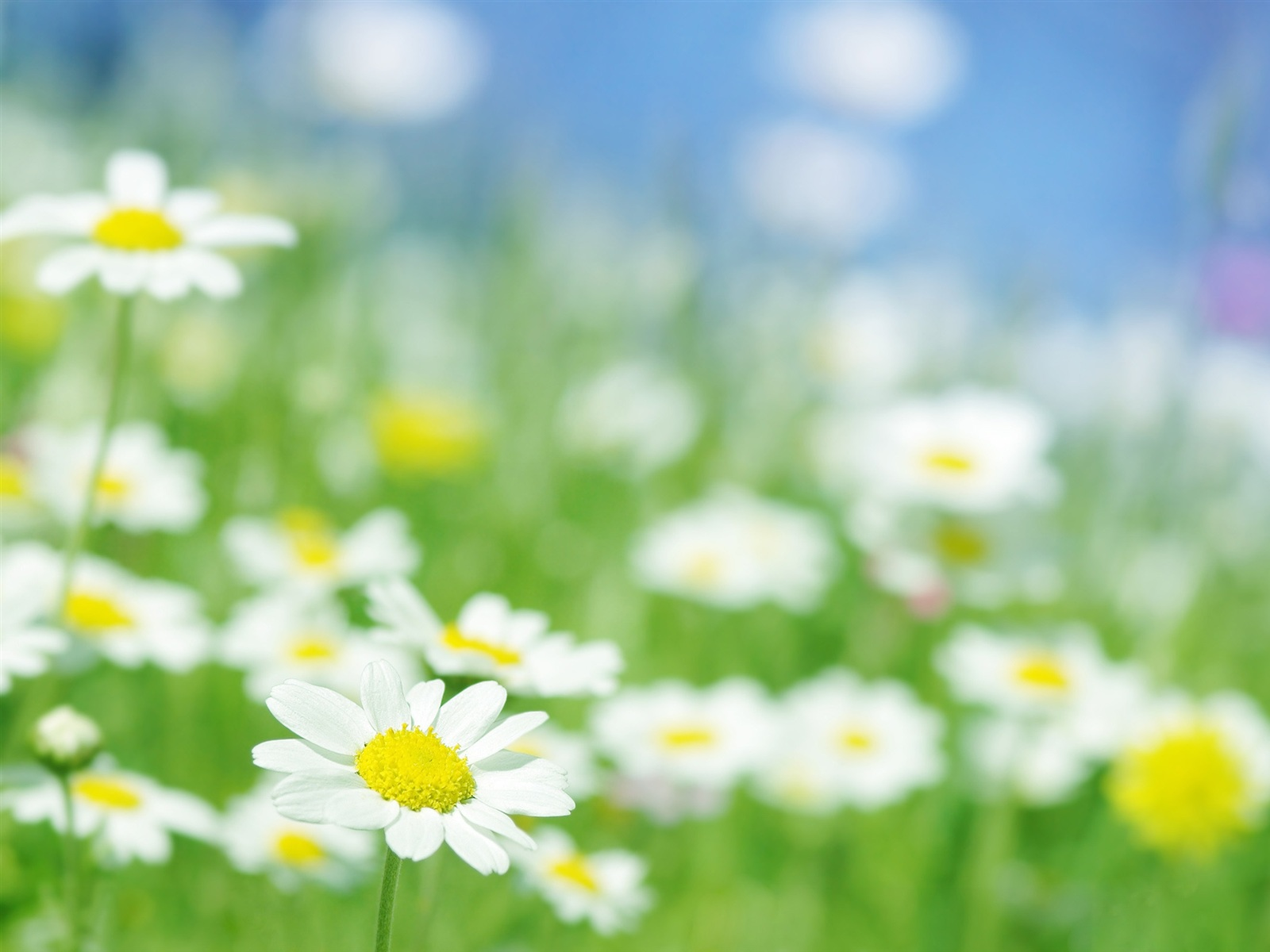 Chamomile flowers macro Wallpaper resolution wallpaper