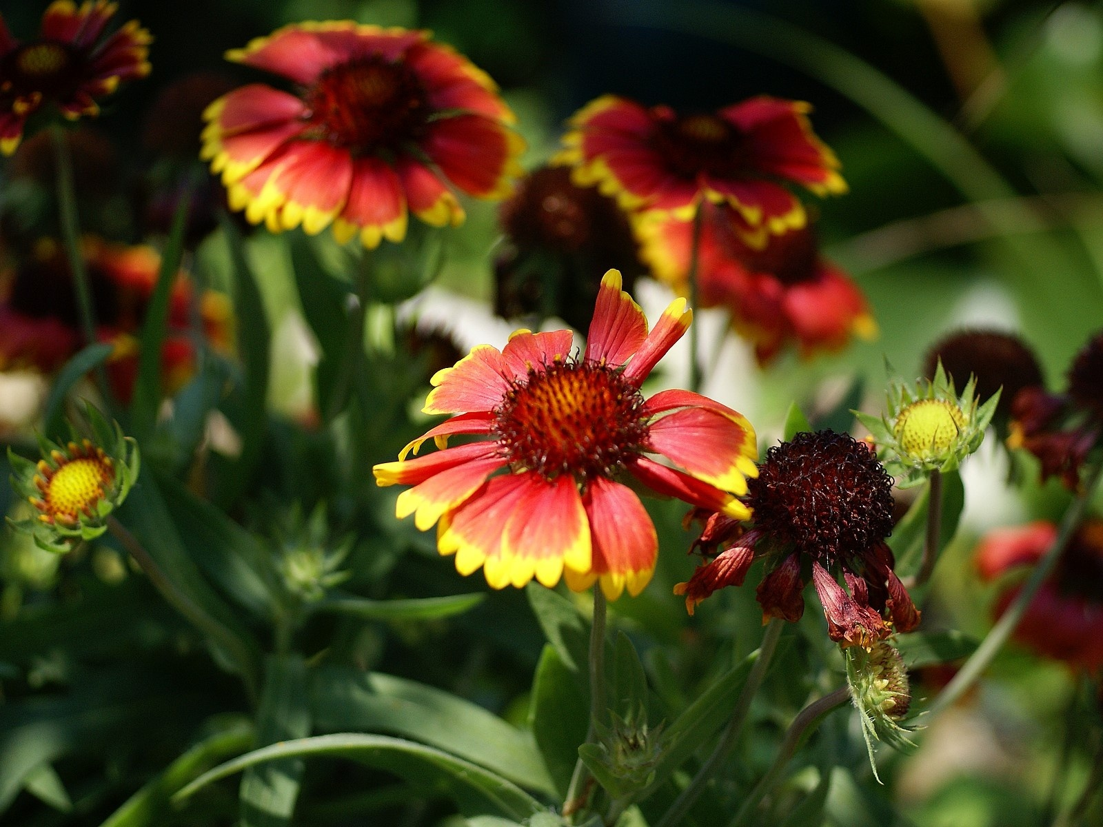42 best Gaillardia images on Pinterest Bellis perennis, Daisies and Pictures of blanket flower