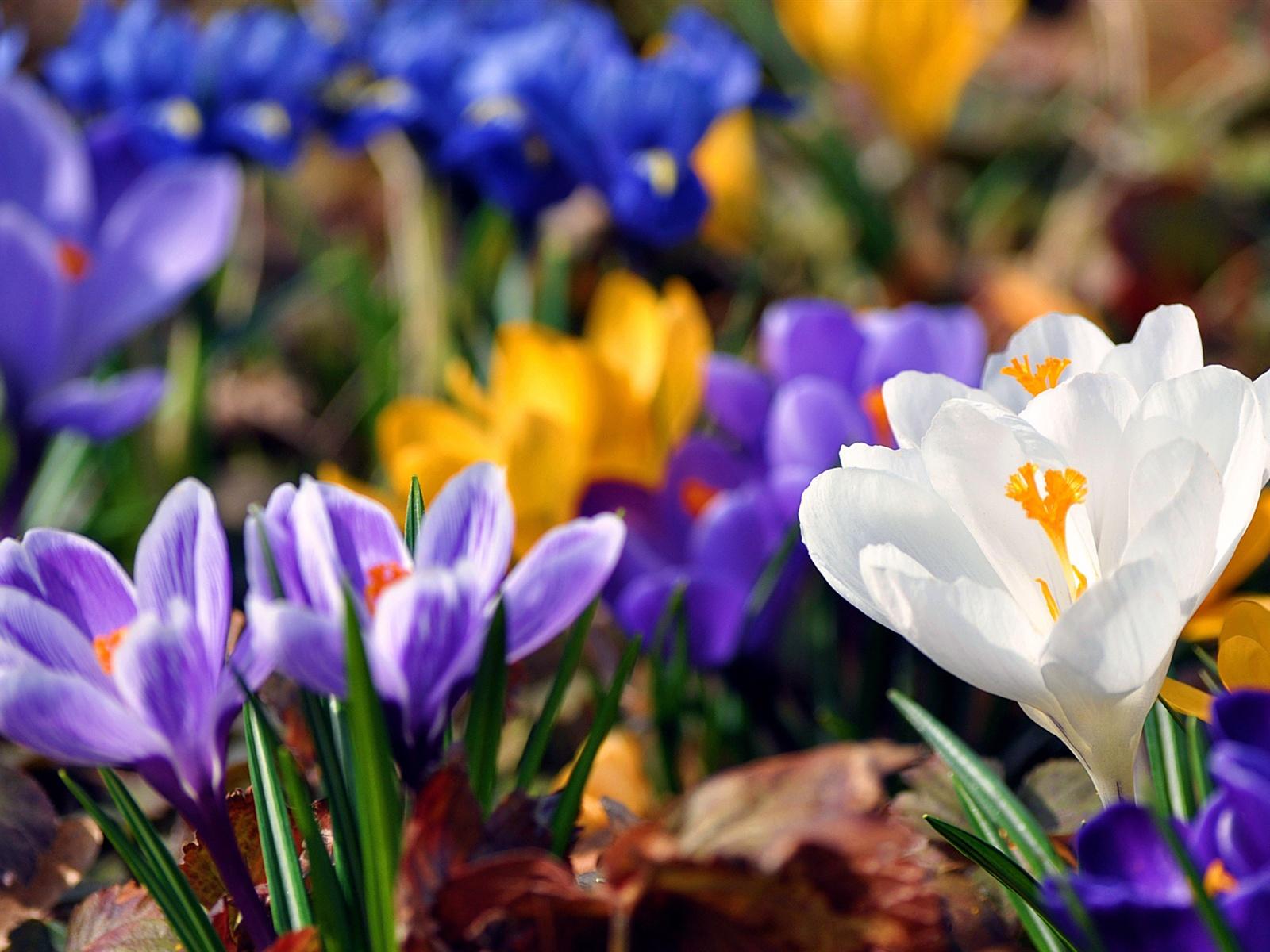 Écran de téléchargement fleurs de printemps crocus fonds d écran