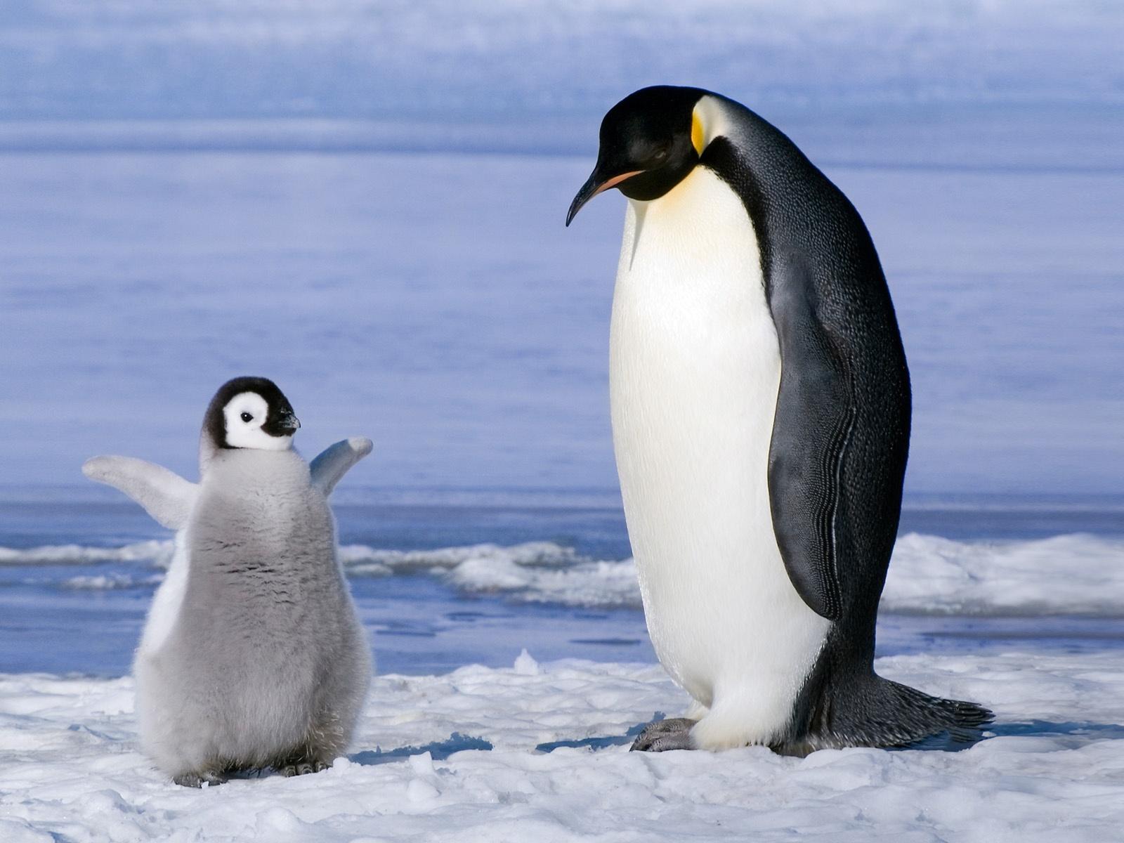 ペンギンの画像 p1_35