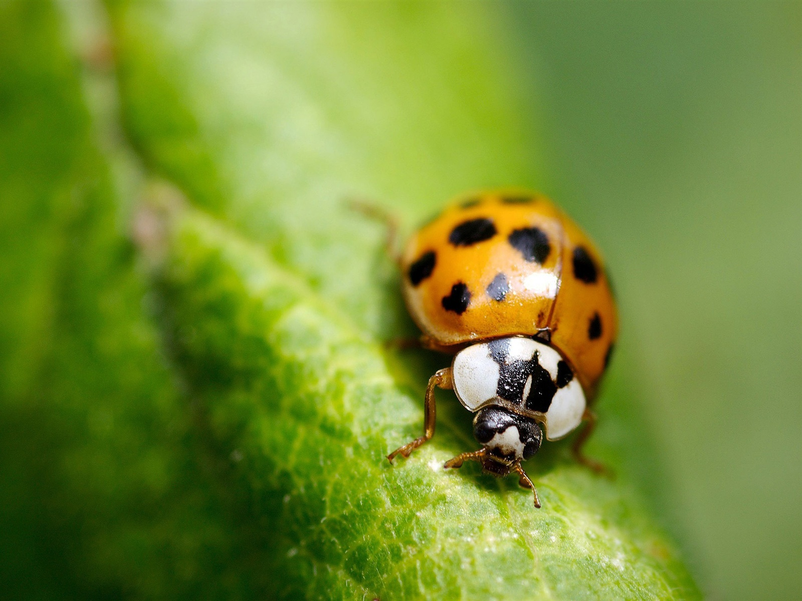 Macro insect green leaf ladybug wallpaper - 1600x1200