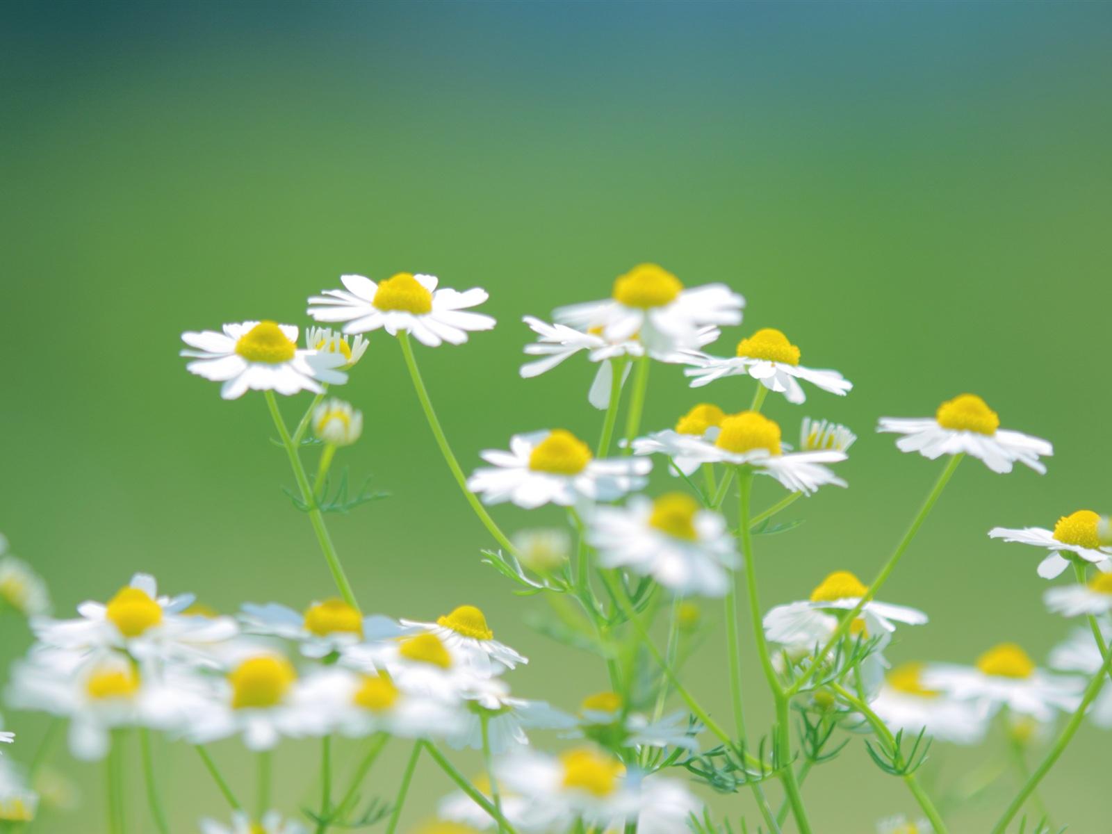 fleurs marguerites blanches t nature fond vert fonds d 39 cran 1600x1200 fonds d 39 cran de. Black Bedroom Furniture Sets. Home Design Ideas