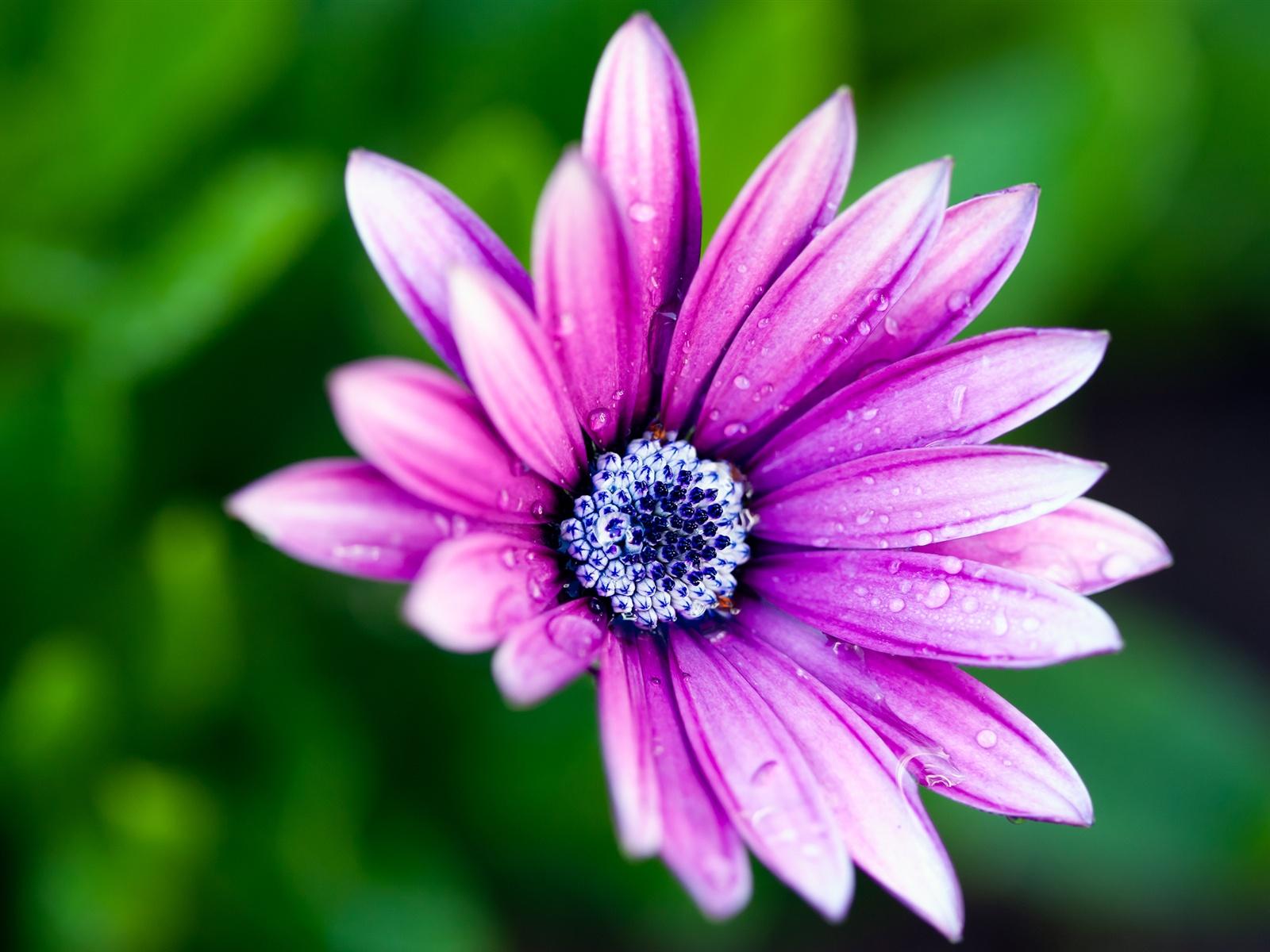Hintergrundbilder Blaue Blume: Lila Blüten, Blaue Blume Kern, Morgentau 2560x1600 HD