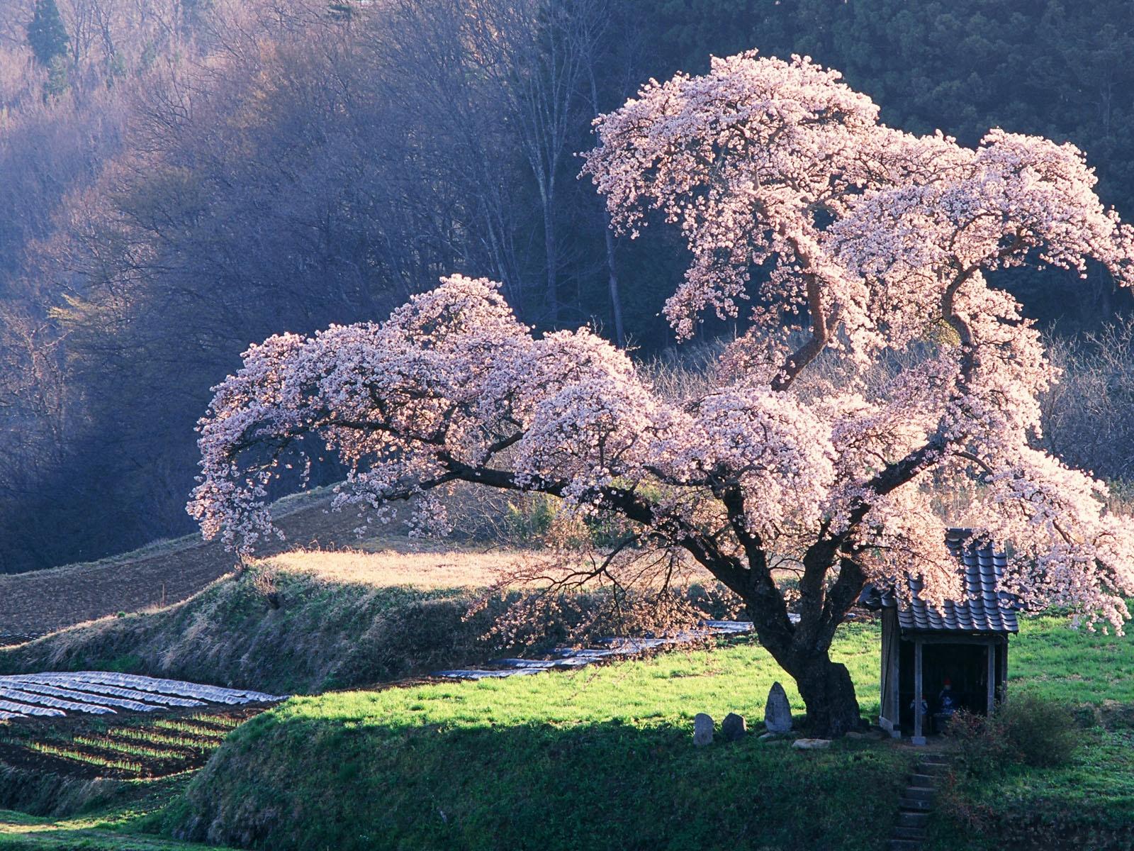 2014日本樱花壁纸日本樱花壁纸 桌面壁纸