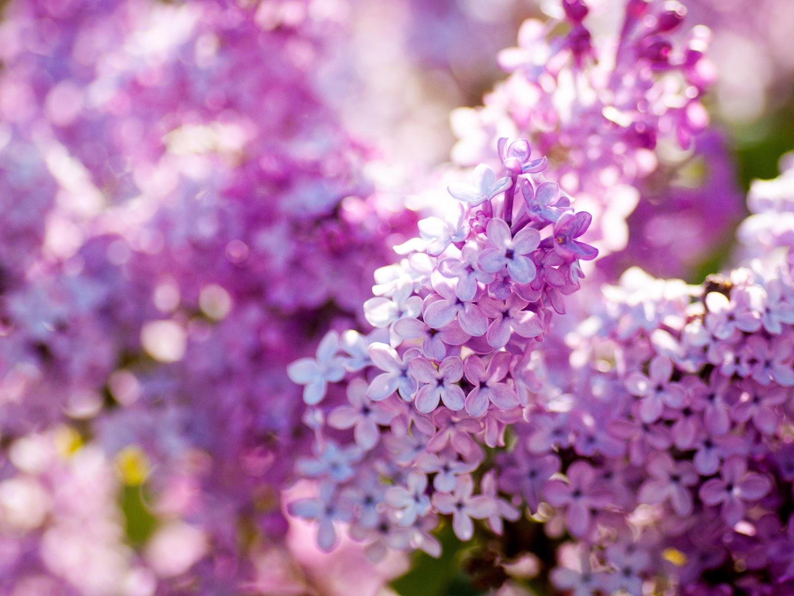 라일락 봄 꽃, 클로즈업 꽃 배경 화면 | 1600x1200 배경 화면 다운로드 | KR.Best ...
