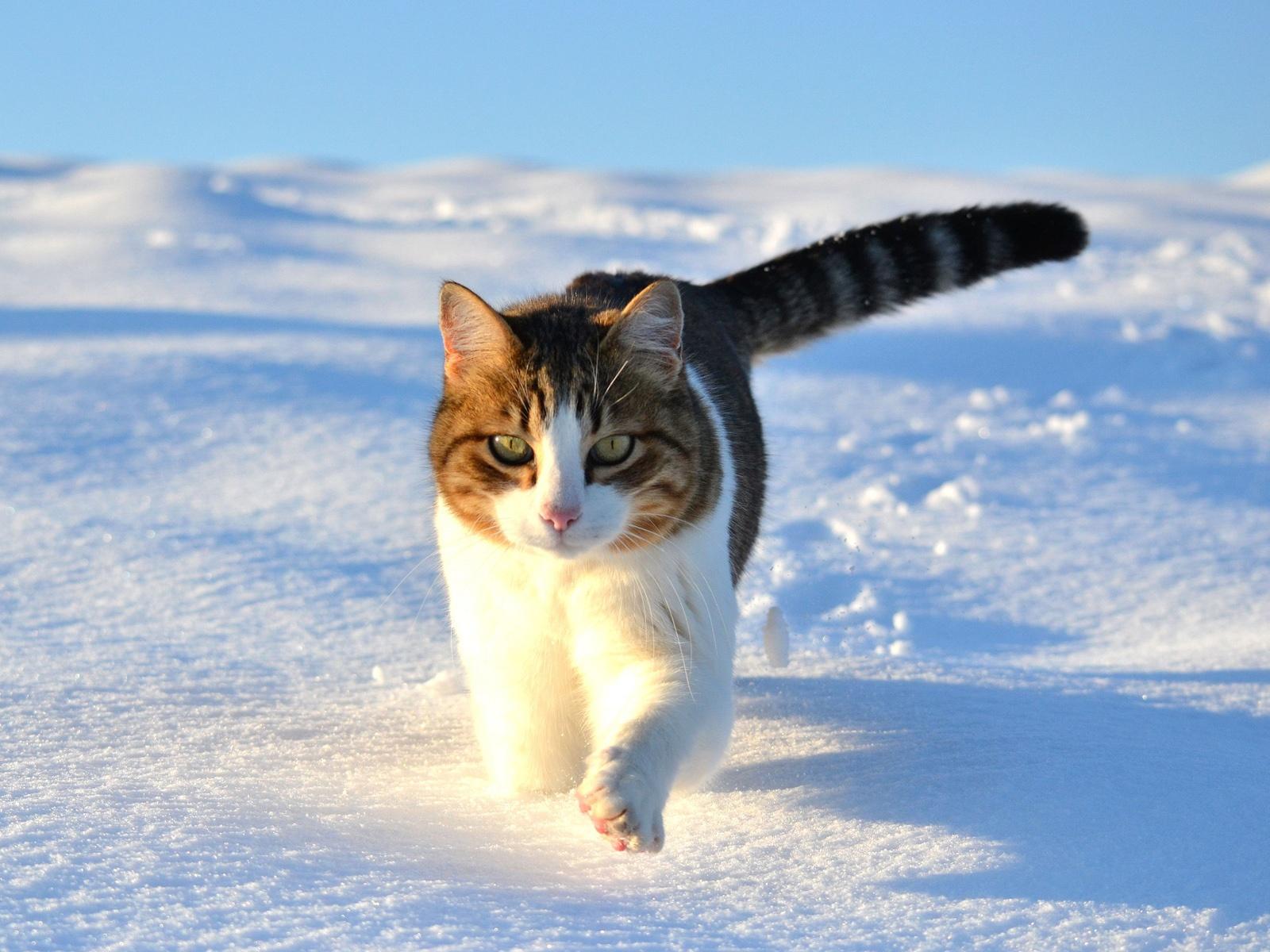 Wallpaper Cute Cat Walking In The Snow Winter 1920x1200 Hd