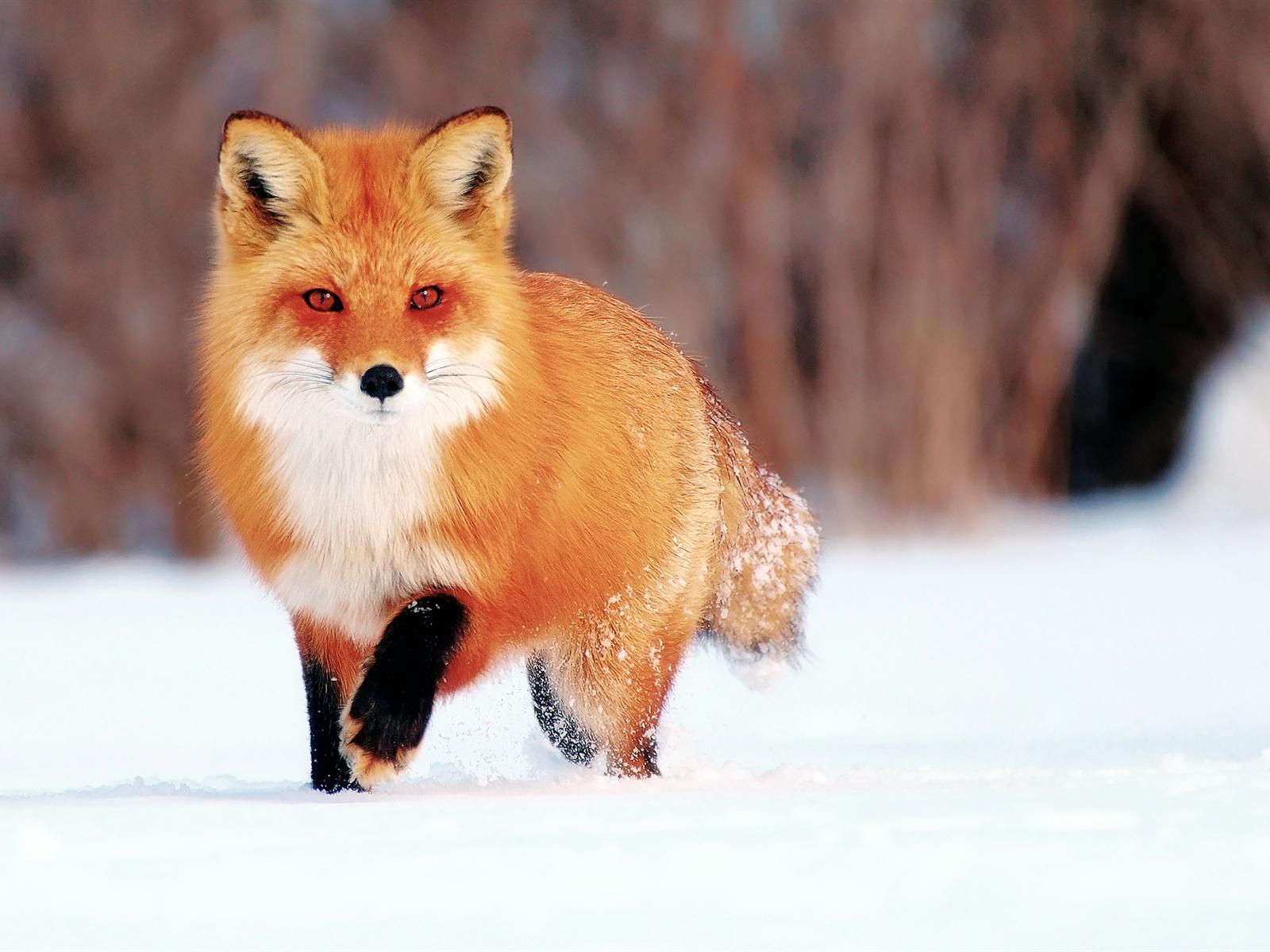 Winter Schnee Kleine Fuchs 1920x1200 Hd Hintergrundbilder Hd Bild