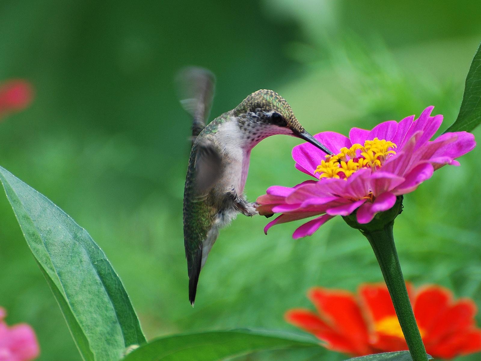 Hummingbird pink flower nectar Wallpaper