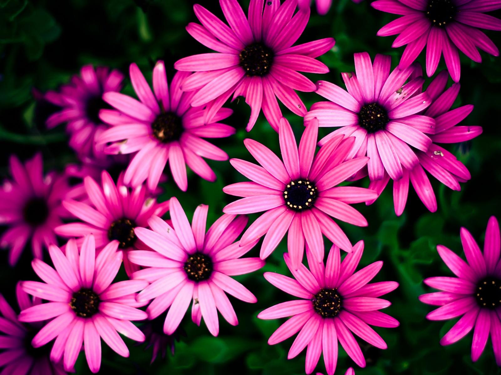 rosa chrysantheme sch ne blumen 1920x1200 hd hintergrundbilder hd bild. Black Bedroom Furniture Sets. Home Design Ideas