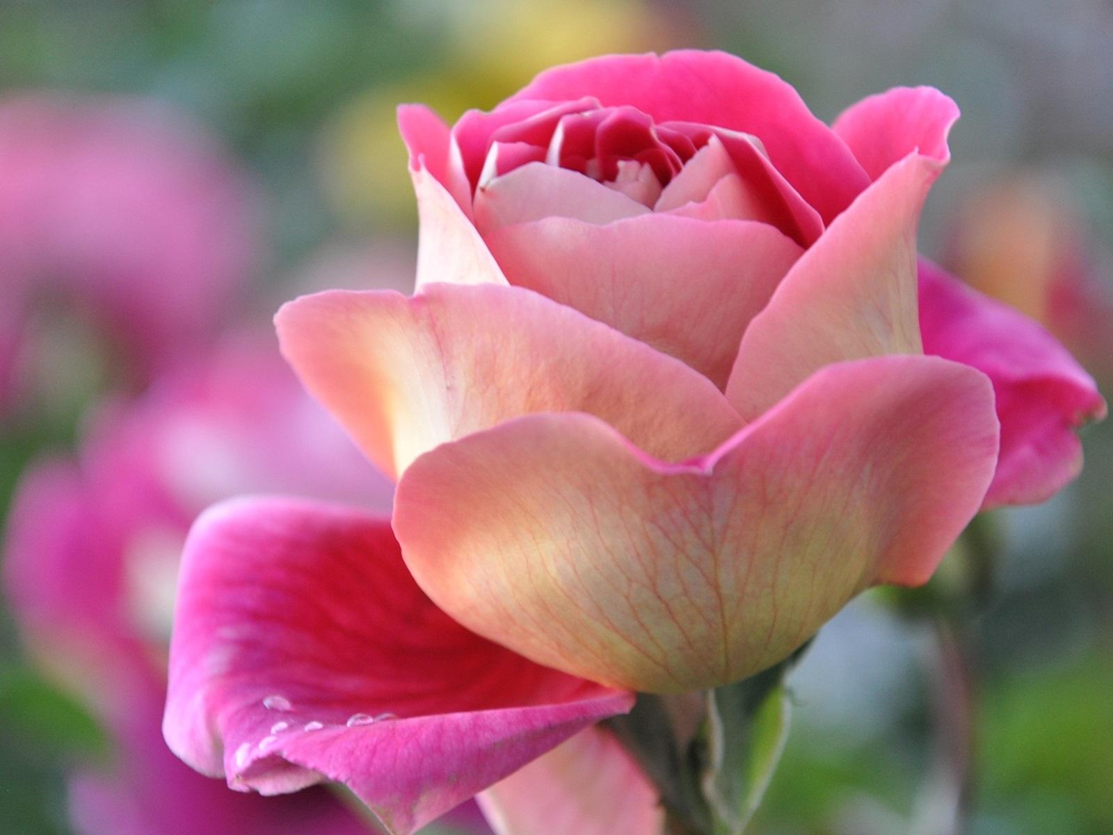 армянской фото розы крупным планом в хорошем качестве друзья всегда будут