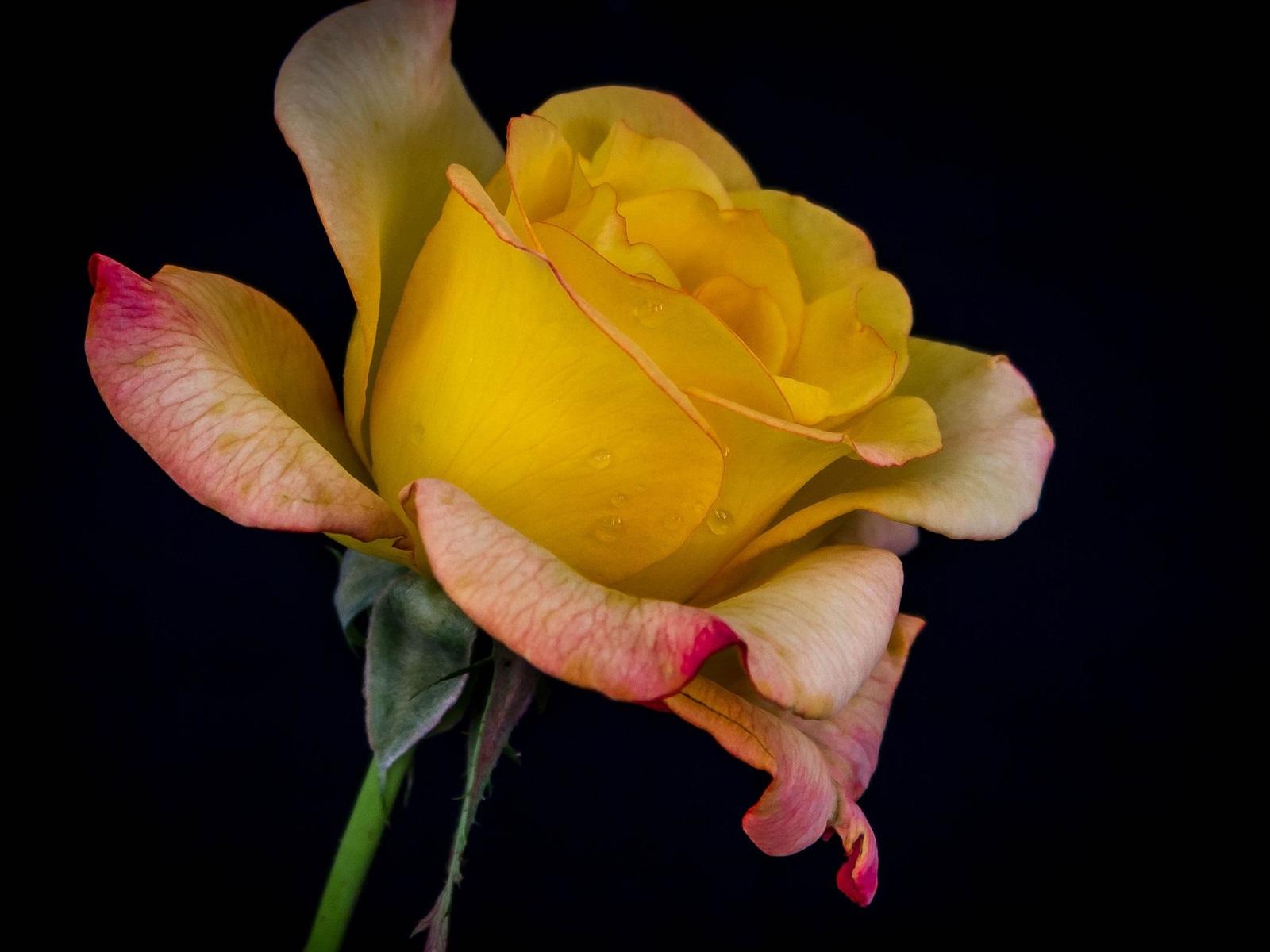 Картинки желтая роза на черном фоне