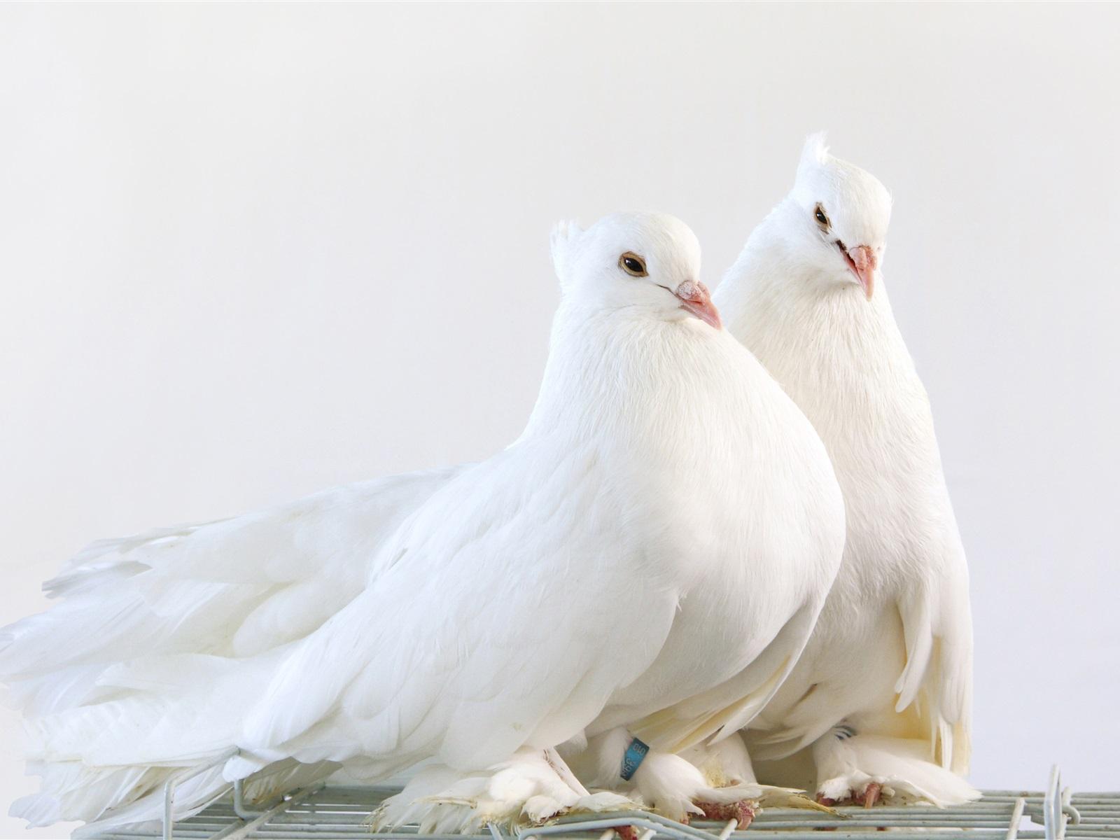 зарабатывать фото белой голубки имеет