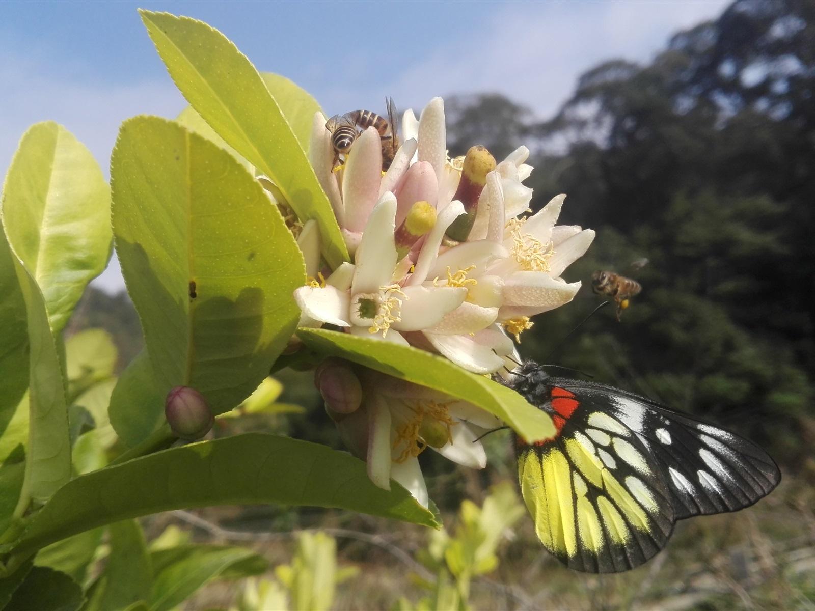 蝴蝶树,花,蛋糕,壁纸恐龙-1600x1200柠檬图片蜜蜂蛋糕