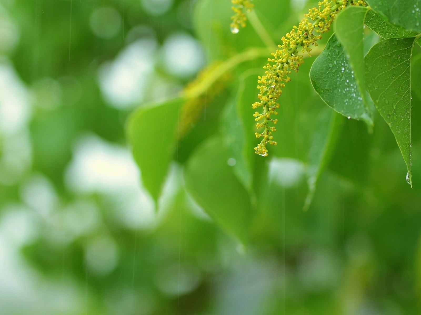 дождь, капля, лист, лето бесплатно