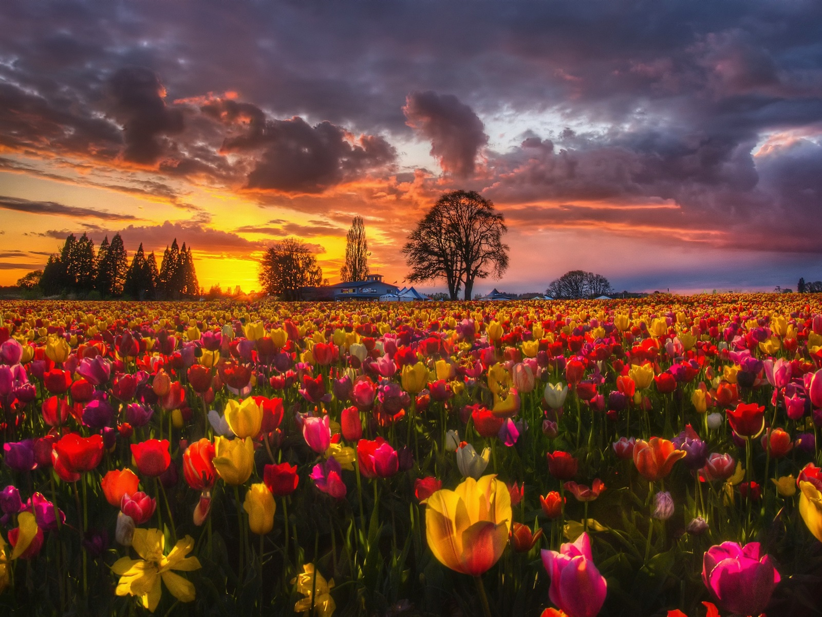 Wallpaper Beautiful Tulip Fields At Sunset Houses Trees