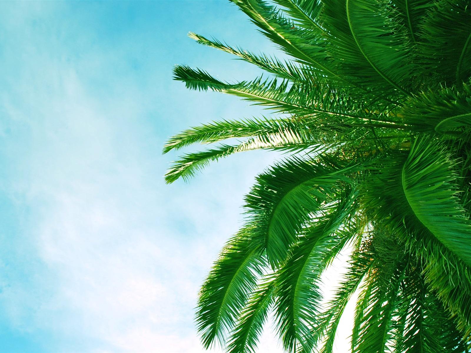 棕榈树的叶子,蓝蓝的天空,云 壁纸图片