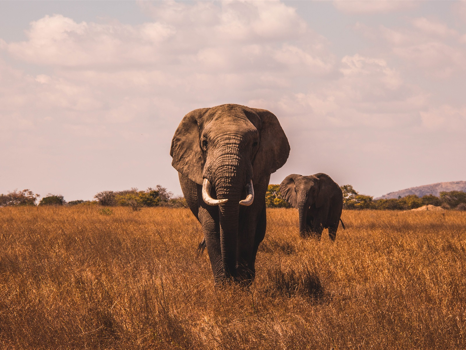 Fondos De Pantalla Iphone 7 Plus: Elefantes, Vista Frontal, Hierba 1080x1920 IPhone 8/7/6/6S