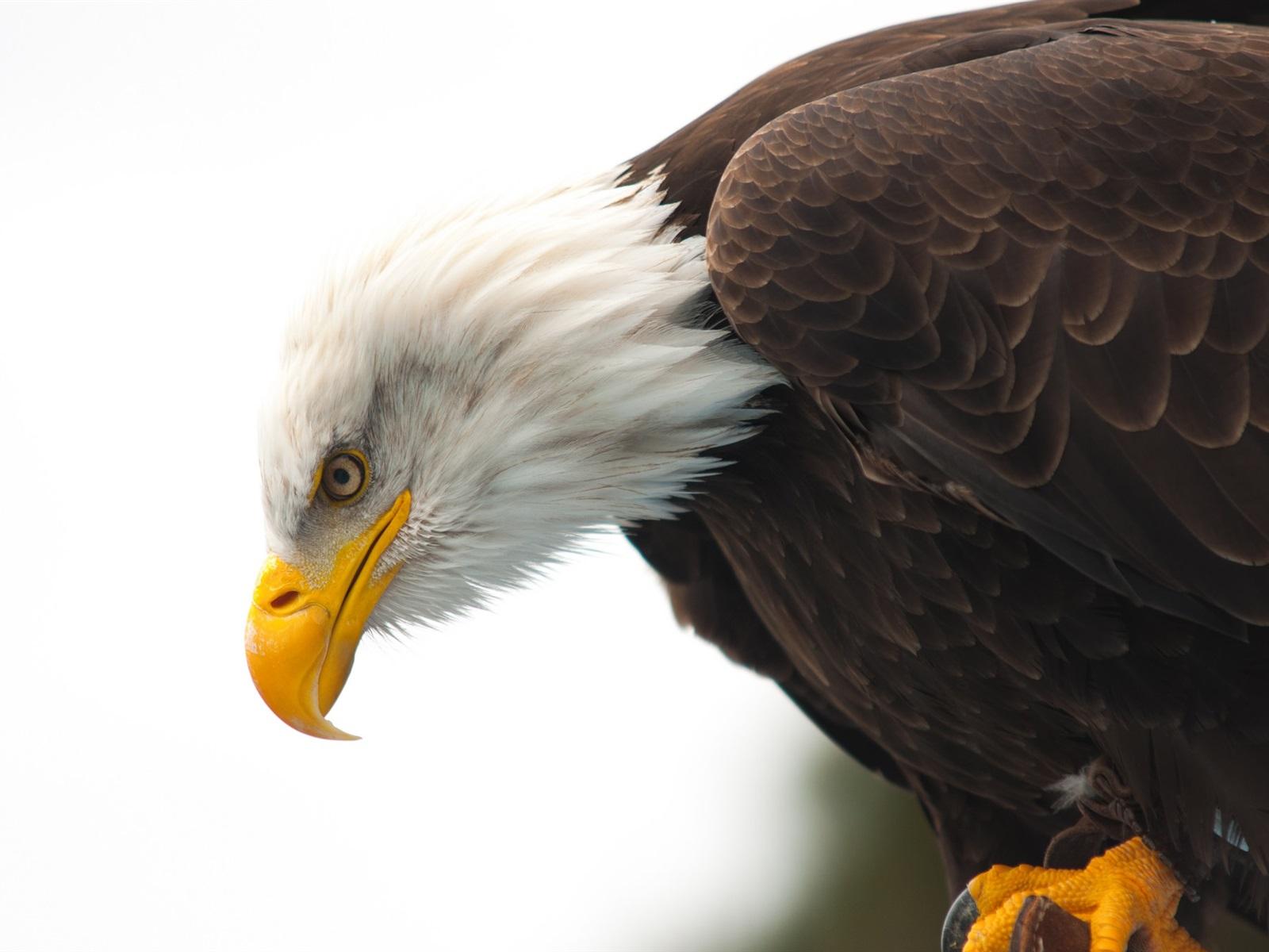 Обои eagle, beak, the, клюв, winter. Животные foto 19