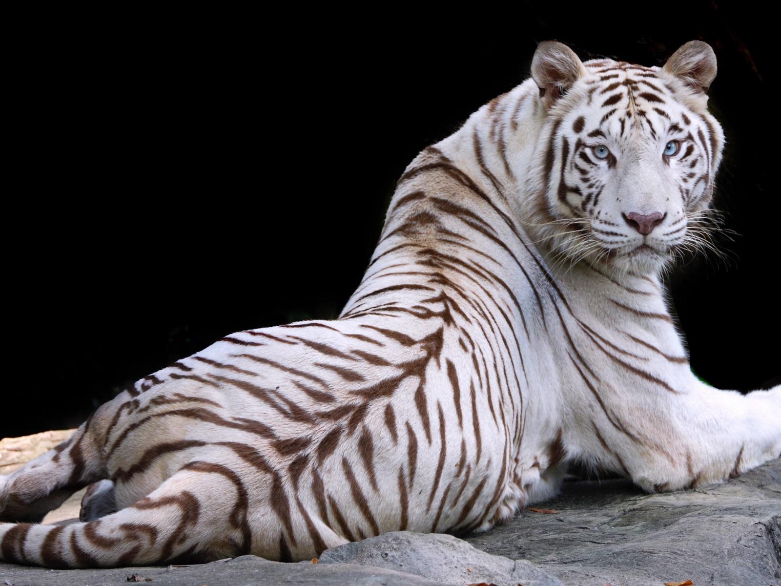 Papeis De Parede Tigre Branco Olhe Para Tras Descanse Olhos