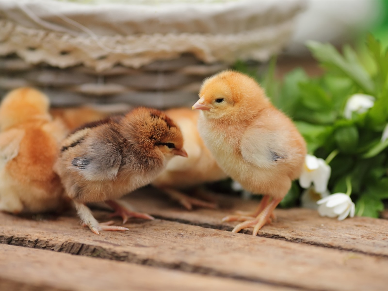 Cute Chickens 640x1136 IPhone 5/5S/5C/SE Wallpaper
