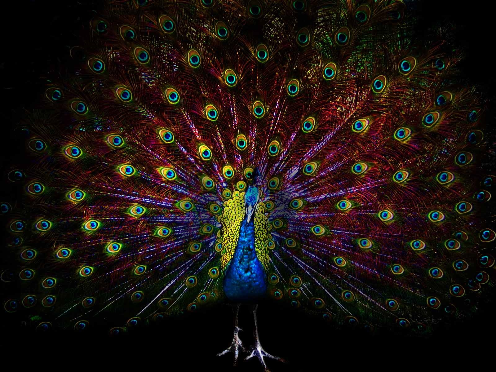 Wallpaper beautiful peacock tail feathers black background 1920x1200 hd picture image - Beautiful peacock feather ...