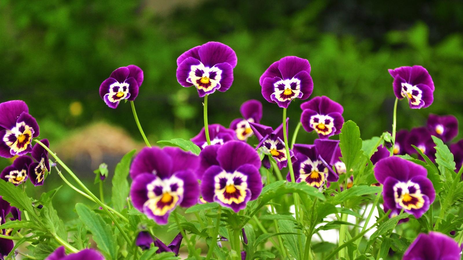 Photos fleurs de couleur violette. - Mi aime a ou