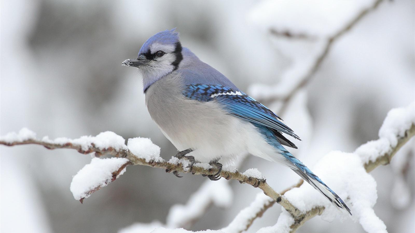 ein vogel auf dem baum winter schnee hintergrundbilder 1600x900 hintergrundbilder download. Black Bedroom Furniture Sets. Home Design Ideas