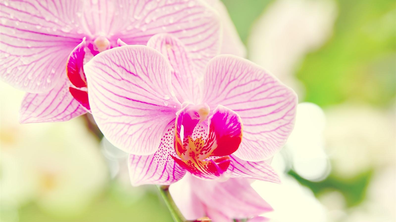 Phalaenopsis-orchid-flower-macro_1600x900