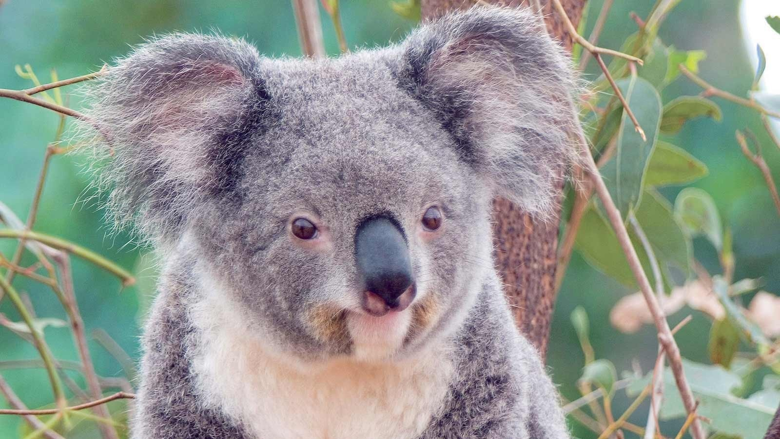 Cute koala wallpaper - 1600x900