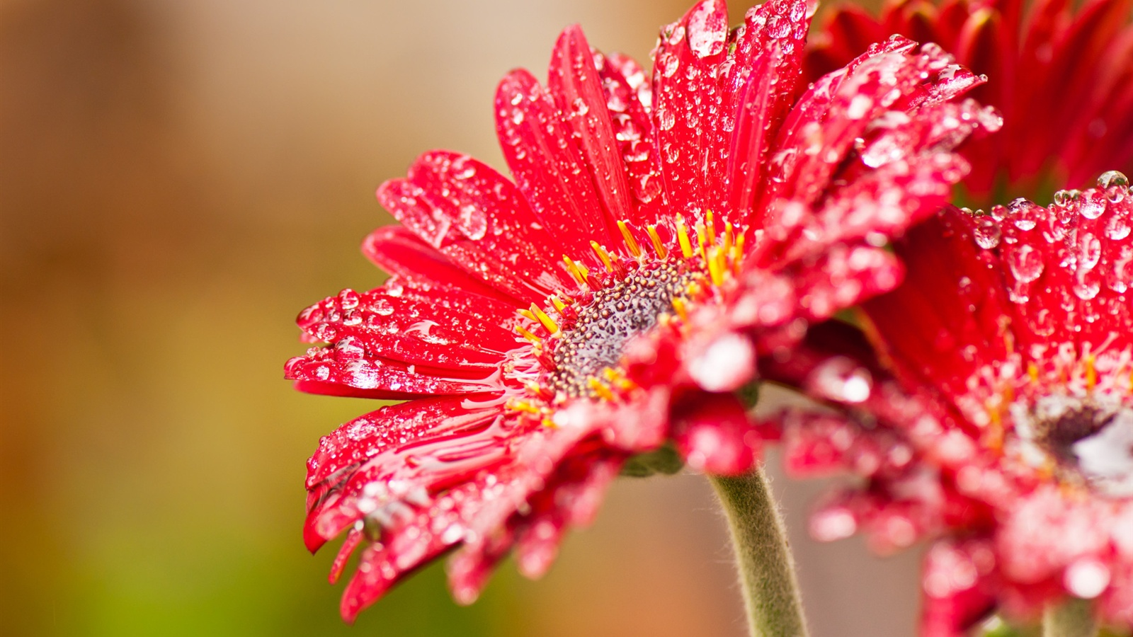 http://ru.best-wallpaper.net/wallpaper/1600x900/1203/Red-gerbera-flowers-after-rain_1600x900.jpg